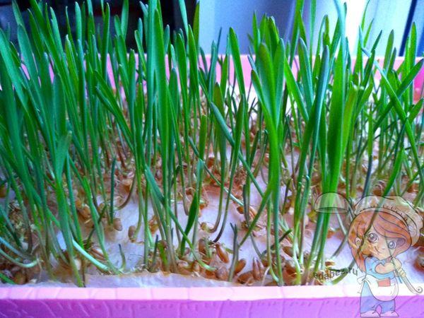 как прорастить семена пшеницы