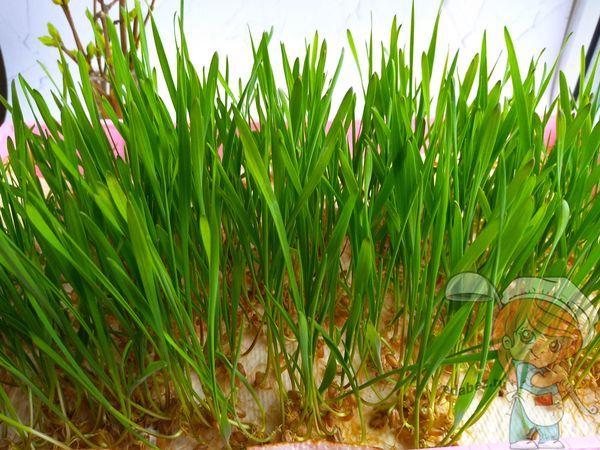 как вырастить пшеницу в домашних условиях - рецепт
